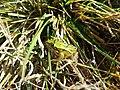 Rana esculenta 2.jpg