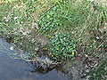 Ranunculus ficaria Habitus.jpg