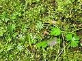 Ranunculus gmelinii 4-eheep (5097959118).jpg