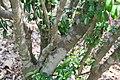 Ravenia spectabilis 10zz.jpg