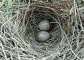 Razo lark eggs.jpg