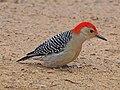 Red-bellied Woodpecker - Melanerpes carolinus, Veteran's Memorial Park, Woodbridge, Virginia (39008077874).jpg