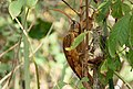 Red-billed Scythebill (Campylorhamphus trochilirostris) (27976092683).jpg
