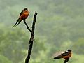 Red-breasted Swallows (Hirundo semirufa) (6040587169).jpg