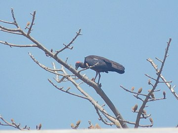 Red-naped Ibis on a tree 1.jpg