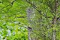 Red-winged blackbird (26689653182).jpg