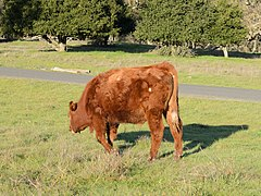 Red Angus cattle Stanford January 2013.jpg