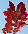 Red Leaves (6447236197).jpg