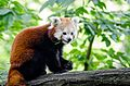 Red Panda (19908404919).jpg