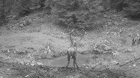 File:Red deer rut in Slovenian Alps.webm