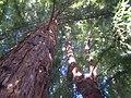 Redwoods - panoramio.jpg