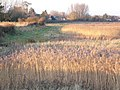 Reed beds near Nutbourne - geograph.org.uk - 416378.jpg