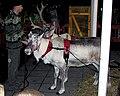 Reindeer.yate.arp.750pix.jpg