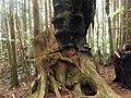 Remains of a Big Tree 大樹遺跡 - panoramio.jpg