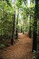 Reserva Florestal dos Mistérios de São João, veredas, concelho das Lajes do Pico, ilha do Pico, Açores, Portugal.JPG
