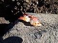 Restos de un cangrejo en una roca.jpg