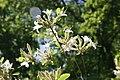 Rhododendron atlanticum 9zz.jpg