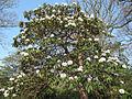 Rhododendron calophytum (7012393959).jpg