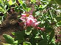Rhododendron canescens 03.JPG