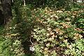 Rhododendron molle in Botanical garden, Minsk.JPG