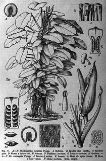 <i>Rhodospatha</i> genus of plants