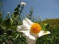 Rhomneya coulteri - Flickr - theforestprimeval.jpg