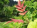 Rhus sandwicensis (5209503493).jpg