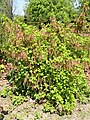 Ribes spicatum - Copenhagen Botanical Garden - DSC08061.JPG