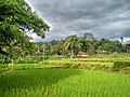 Rice Fields with Dark Sky.jpg