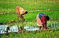 Rice Manufacturing.jpg