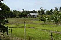Rice field Prey Veng.jpg