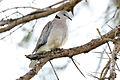 Ring-necked Dove Streptopelia capicola.jpg
