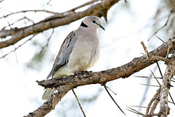 Ring-necked Dove Streptopelia capicola.jpg