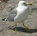 Ring Billed Gull.jpg