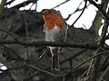 Robin (33081838901).jpg
