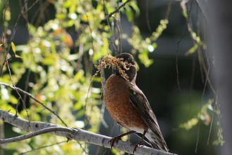 American robin - Robin with nest-making materials