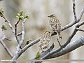 Rock Sparrow (Petronia petronia) (51336091375).jpg