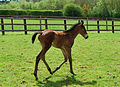 Rock of Gibraltar- Baralinka colt foal at 2 weeks old (7297517750).jpg