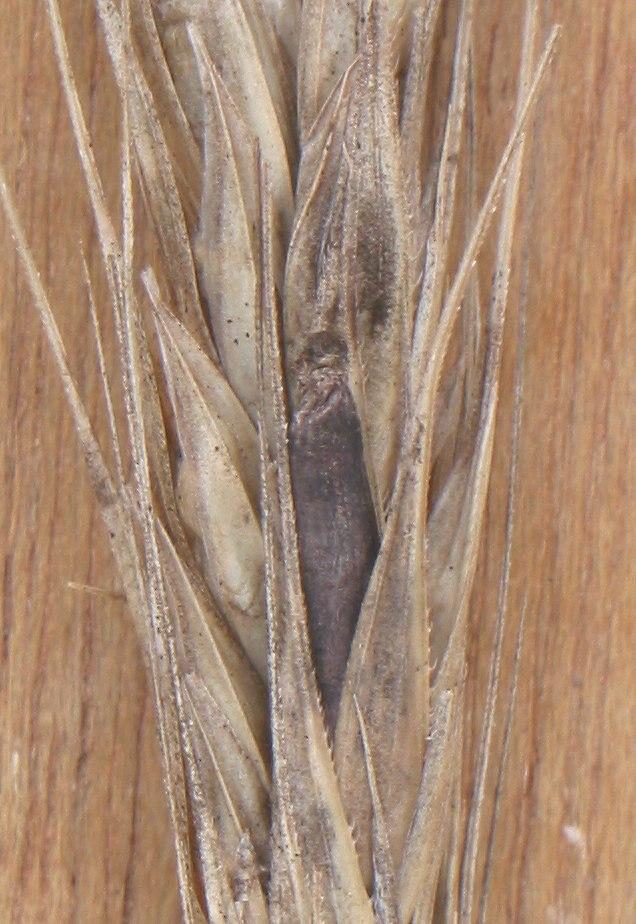 Rogge moederkoren Claviceps purpurea on Secale cereale