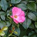 Rosa 'Pink Blanket' (d.j.b) 02.jpg