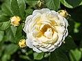 Rosa 'Taxandria' (d.j.b) 01.jpg
