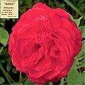 "Rosa ""Galaty"" o DOTsubebe. 03.jpg"