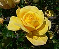 Rosa Gold Glow 1.jpg