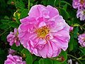 Rosa damascena 003.JPG