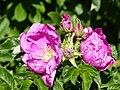 Rosa rugosa inflorescence (16).jpg