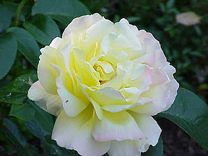 Rosa sp.122.jpg