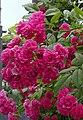 Rosarium Baden Rosa 'Brewood Belle' John Scarman 1995 01.jpg