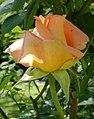 Rosarium Baden Rosa 'Dr. Omar Zawawi' Schmadlak 2000 01.jpg