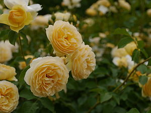 Rose, Graham Thomas, バラ, グラハム トーマス, (12552871703).jpg