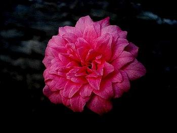 മലയാളം: Rose